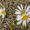 White cushion mountain daisy (Celmisia sessiliflora). Mount Arthur, Kahurangi National Park.