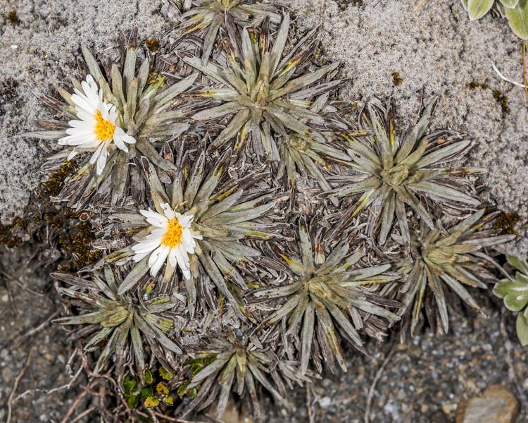 Celmisia sessiliflora x ??? hybrid. Mount Arthur, Kahurangi National Park.