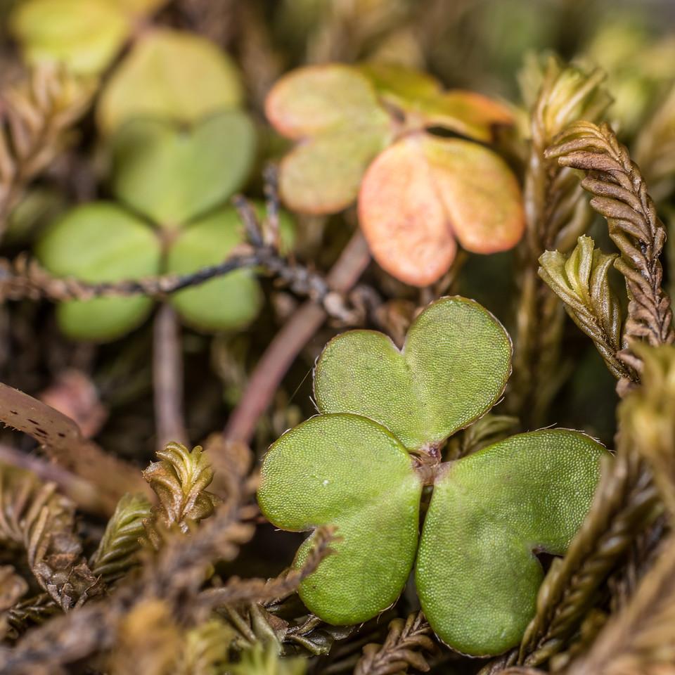 White oxalis / tūtae-kāhu (Oxalis magellanica). Lake Poteriteri to Lake Mouat, Fiordland National Park.