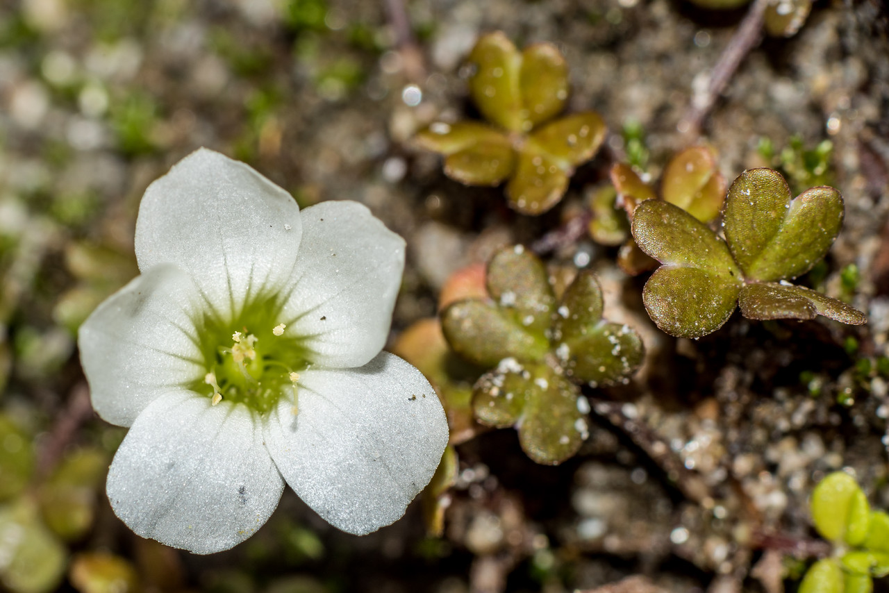 White oxalis / tūtae-kāhu (Oxalis magellanica). Big River, Fiordland National Park.