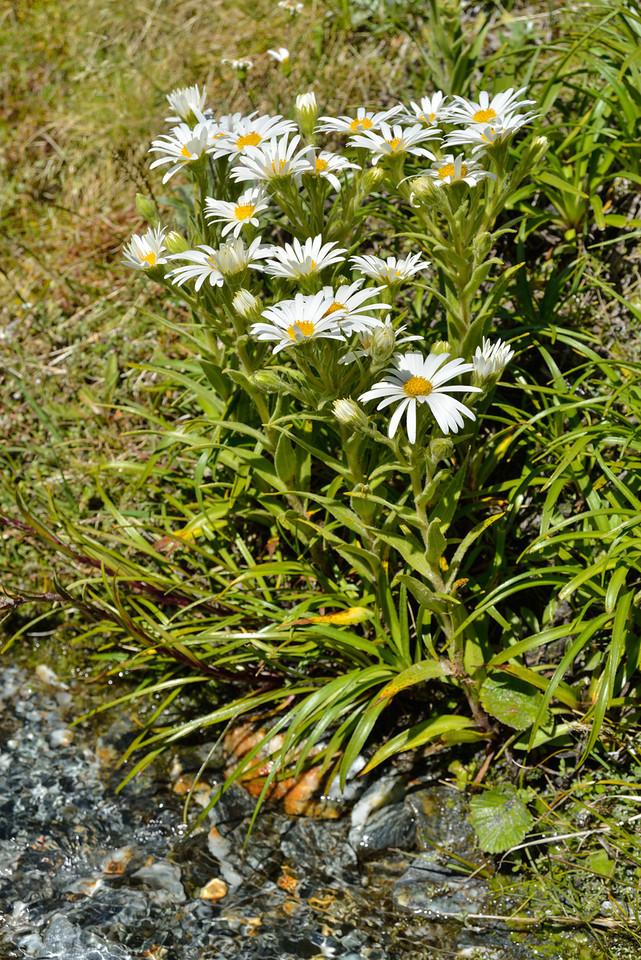 Snow marguerite (Dolichoglottis scorzoneroides). Blue Duck River (Dart River)