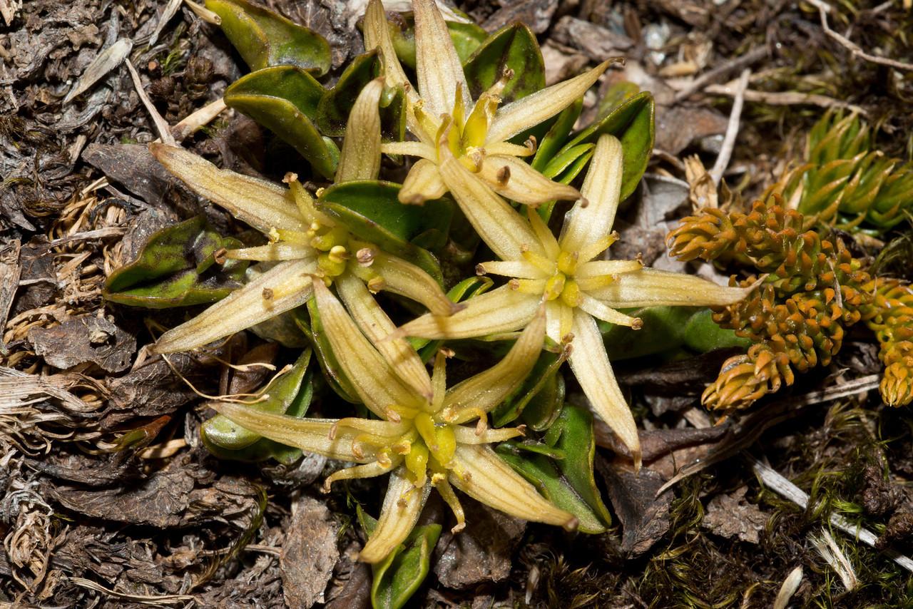 Yellow caltha (Caltha novae-zelandiae). Mount Wilson, Haast Pass