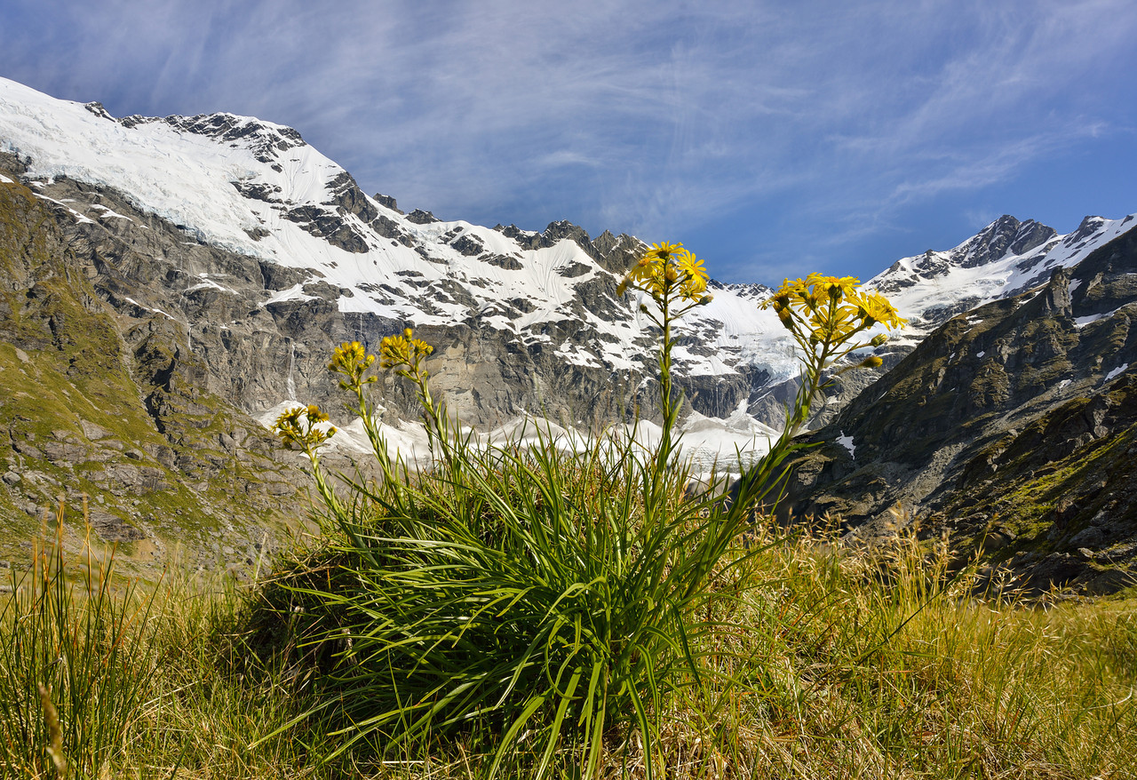 Yellow snow marguerite (Dolichoglottis lyallii) at the head of the Blue Duck River. Mount Ian above