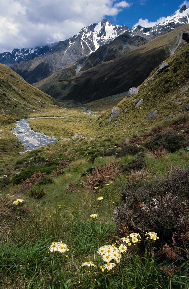 Snow marguerites (Dolichoglottis spp.). Beans Burn, Mount Aspiring NP