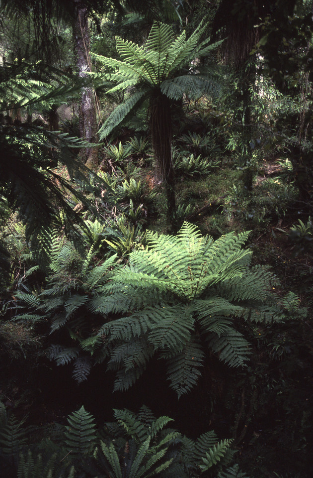 Rain forest, North-Wet Circuit, Stewart Island