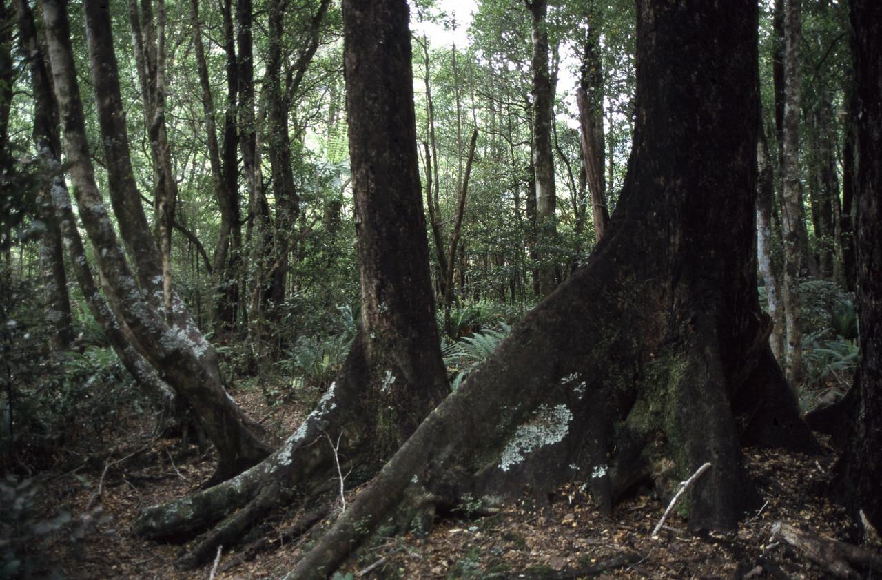 Buttress roots, Lake Creek, Arthur's Pass