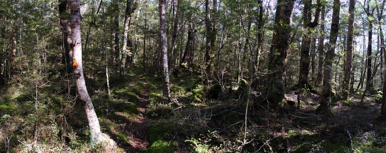 Beech forest, Waikaia Bush