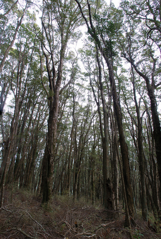 Beech forest on Government Track, Otago