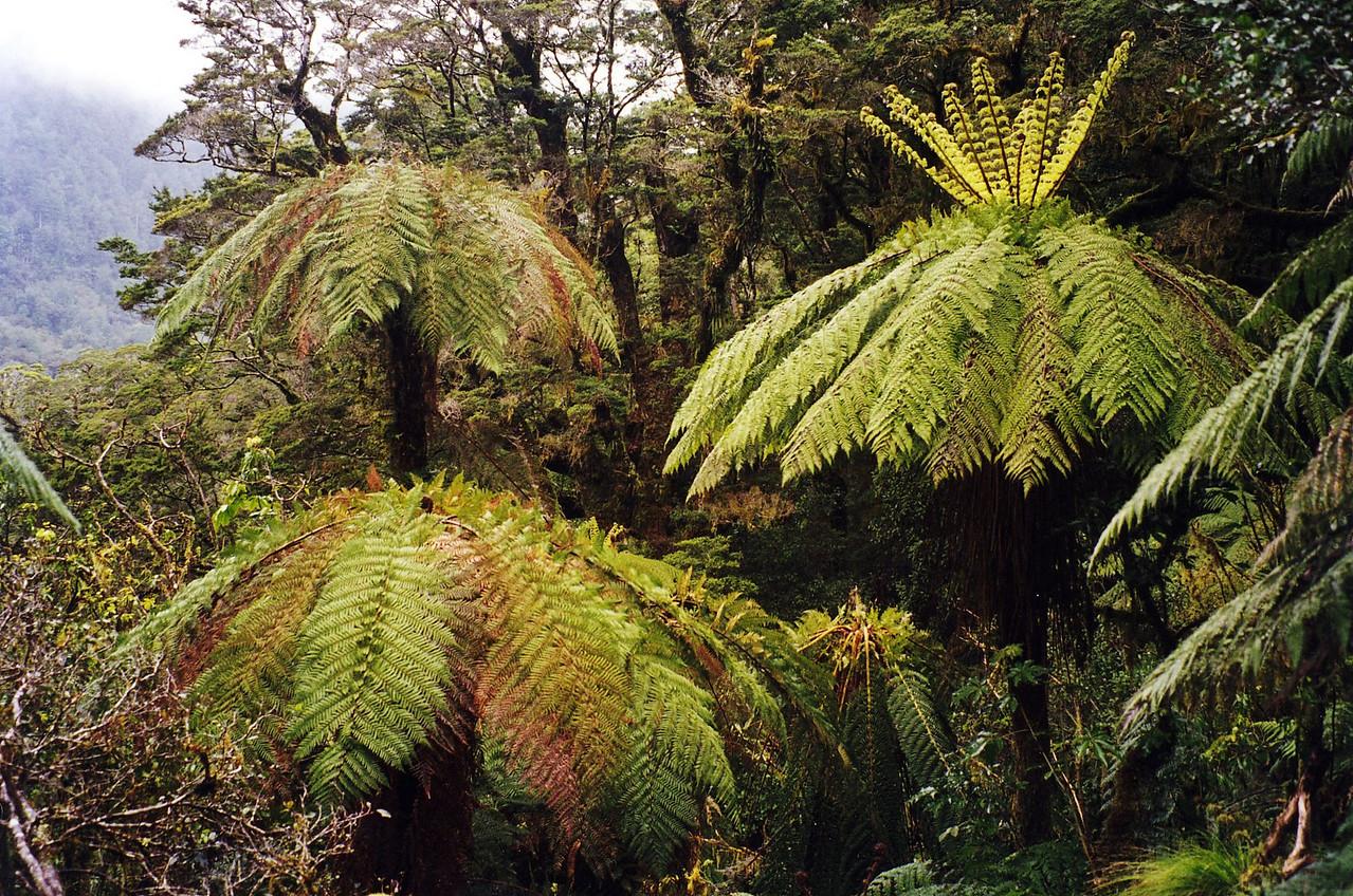 Tree Ferns, Arthur River Valley, Milford Track