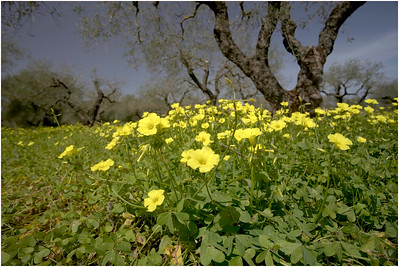 Bermuda Buttercup, Crete, Greece, 18 April 2015