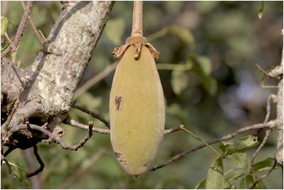 Baobab, Makasutu, Gambia, 30 November 2017