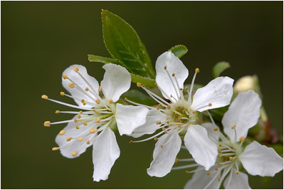 Blackthorn, Aylsham, Norfolk, United Kingdom, 5 April 2015