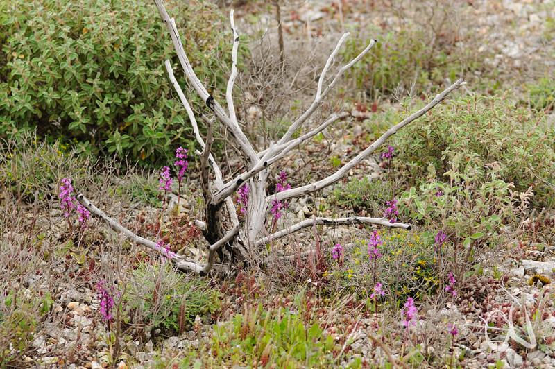 Vierpunkt-Knabenkraut, (Orchis quadripunctata), Insel Hvar, Dalmatien, Kroatien, [en] Island of Hvar, Dalmatia, Croatia