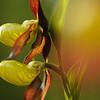Frauenschuh-Orchidee, (Cypripedium calceolus), Baden-Württemberg, Deutschland