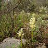 Armblütiges Knabenkraut, (Orchis pauciflora), Insel Hvar, Dalmatien, Kroatien, [en] Island of Hvar, Dalmatia, Croatia