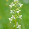 Grünliche Waldhyazinthe, Platanthera chlorantha, Baden-Württemberg, Deutschland