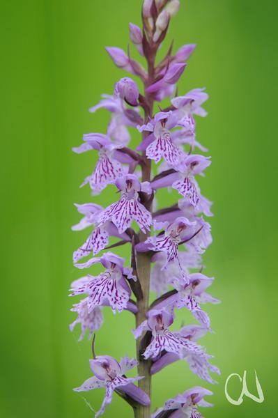 Geflecktes Knabenkraut, Dactylorhiza maculata, Orchidee, Maremma, Toskana, Italien