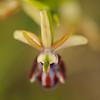 Schwarze Ragwurz, Ophrys incubacea, Insel Hvar, Dalmatien, Kroatien