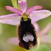 Dalmatinische Ragwurz, (Ophrys flavicans), Insel Hvar, Dalmatien, Kroatien, [en] Island of Hvar, Dalmatia, Croatia