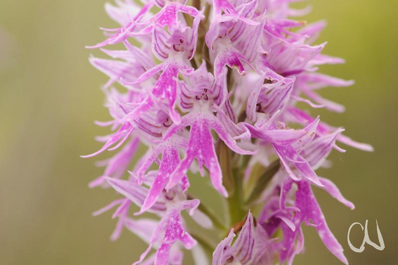 Italienisches Knabenkraut (Orchis italica), Orchidee, Insel Hvar, Dalmatien, Kroatien