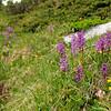 Männliches Knabenkraut (Orchis mascula) auf einer Almwiese, Bernina-Pass, Graubünden, Alpen, Schweiz