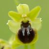 Große Spinnen-Ragwurz, Ophrys sphegodes, Orchidee, Blüte, Schwäbische Alb, Baden-Württemberg, Deutschland
