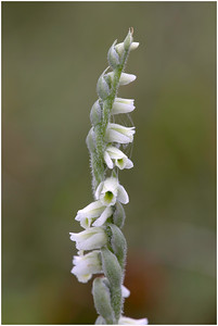 Autumn Lady's-tresses, Knockinghoe, Bedfordshire, United Kingdom, 5 September 2015