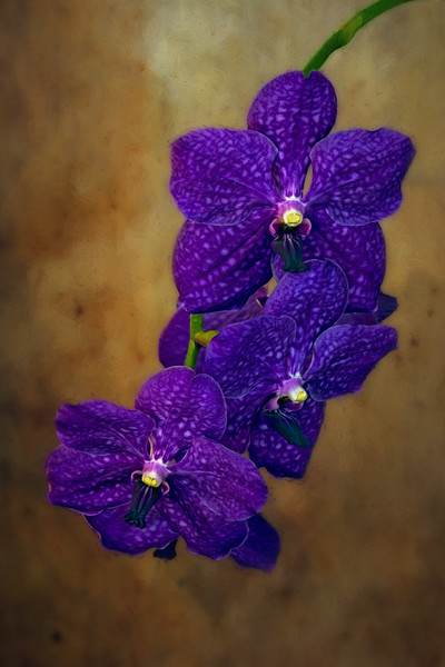 Vanda orchid, digital art - taken in Central Florida