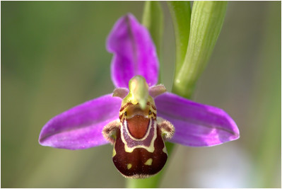 Bee Orchid, Holton, Somerset, United Kingdom, 6 June 2015