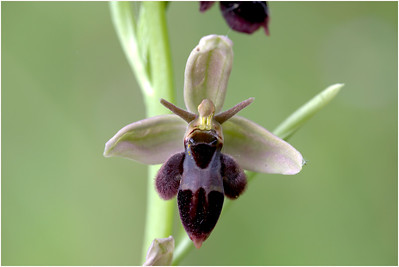 Bee x Fly Orchid hybrid, Holton, Somerset, United Kingdom, 6 June 2015