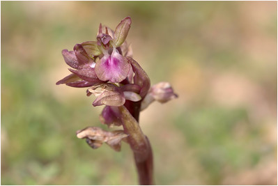 Anacamptis colina, Crete, Greece, 19 April 2015