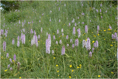 Common Spotted Orchid, Bison Down, Bedfordshire, United Kingdom, 4 July 2015