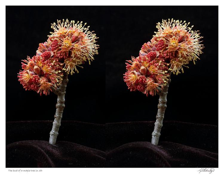 Bud of Maple tree in 3D