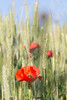 Poppies in a corn field in the French Alps