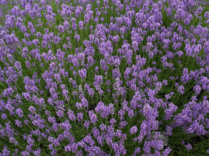 Lavender, Munstead Strain 3