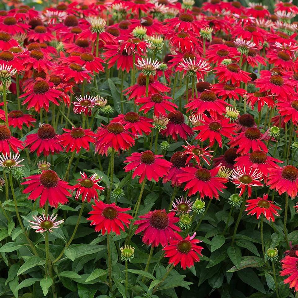 Echinacea 'Salsa Red' 1