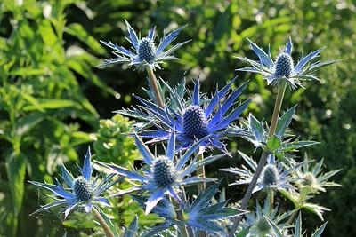 Eryngium Big Blue 1