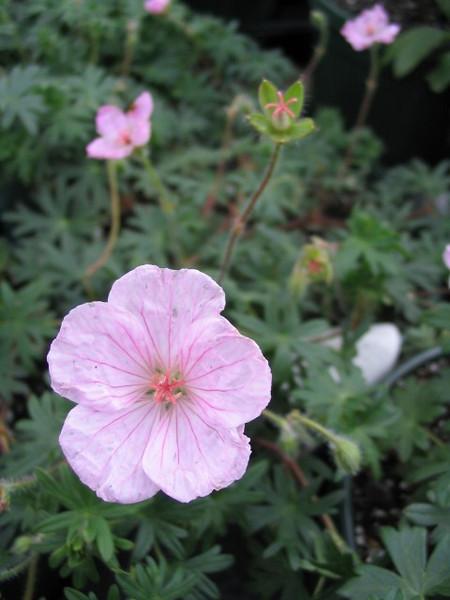 Geranium sanguineum striatum 2