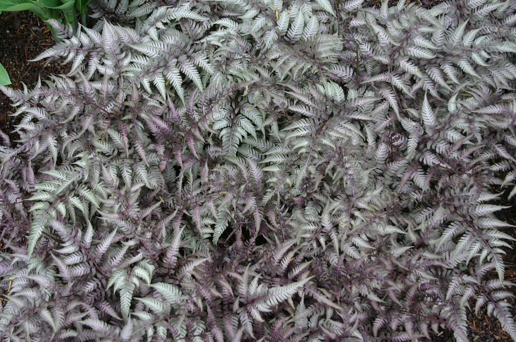 Fern - Athyrium Pictum - Japanese Painted 2