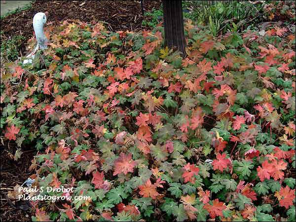 Geranium Ingwersen (fall)