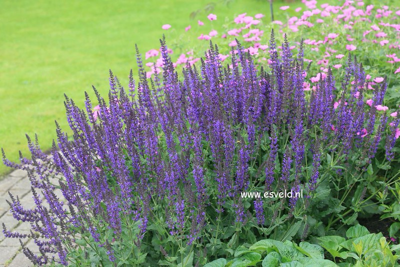 Salvia Wesuwe 1