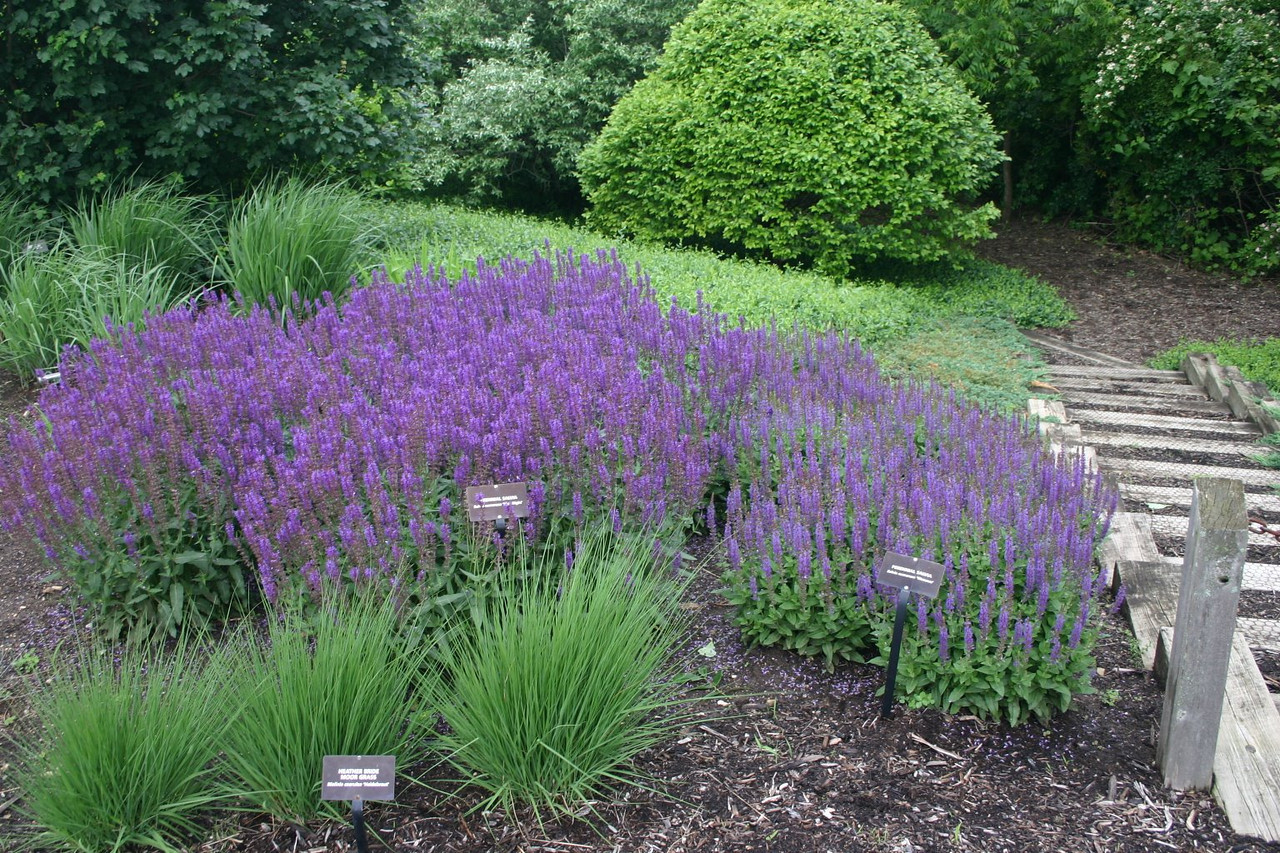 Salvia May Night (L) Wesuve (R)