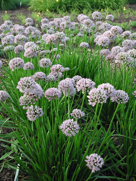 Allium Summer Beauty 3