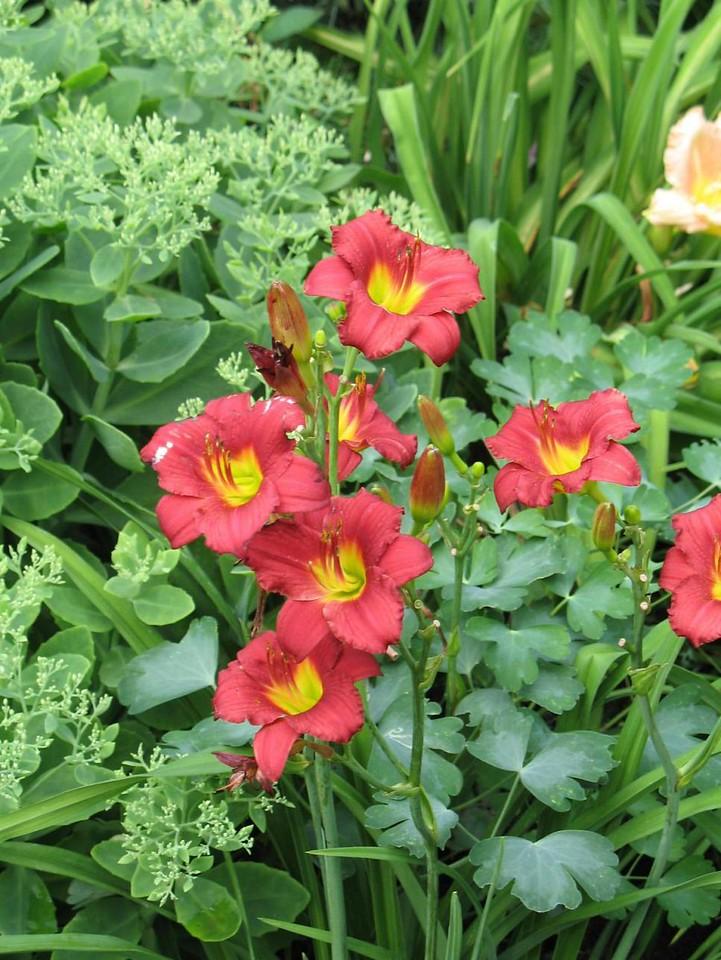 Hemerocallis 'Ruby Stella' 1