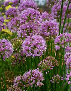 Allium Millenium 2