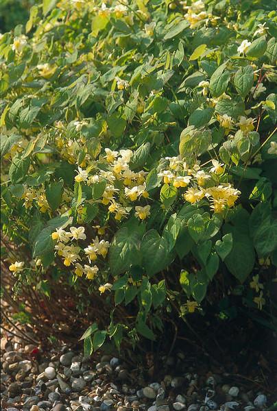 Epimedium sulphureum (Yellow Bishops Hat) 1
