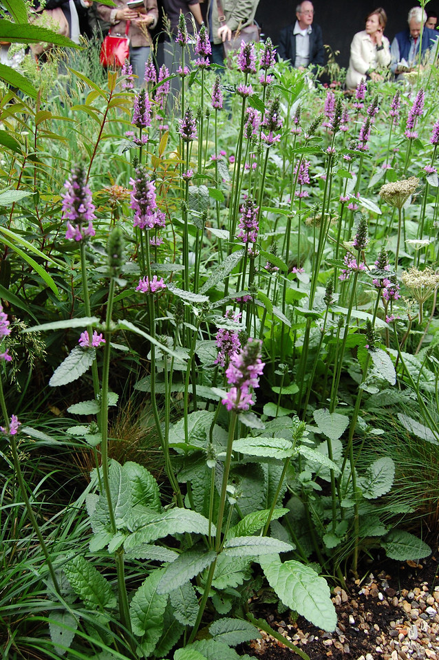 Stachys officianalis Hummelo 2