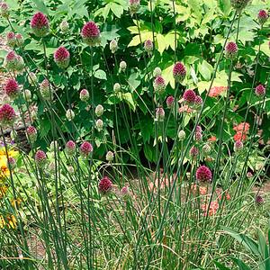 Allium sphaerocephalum 1