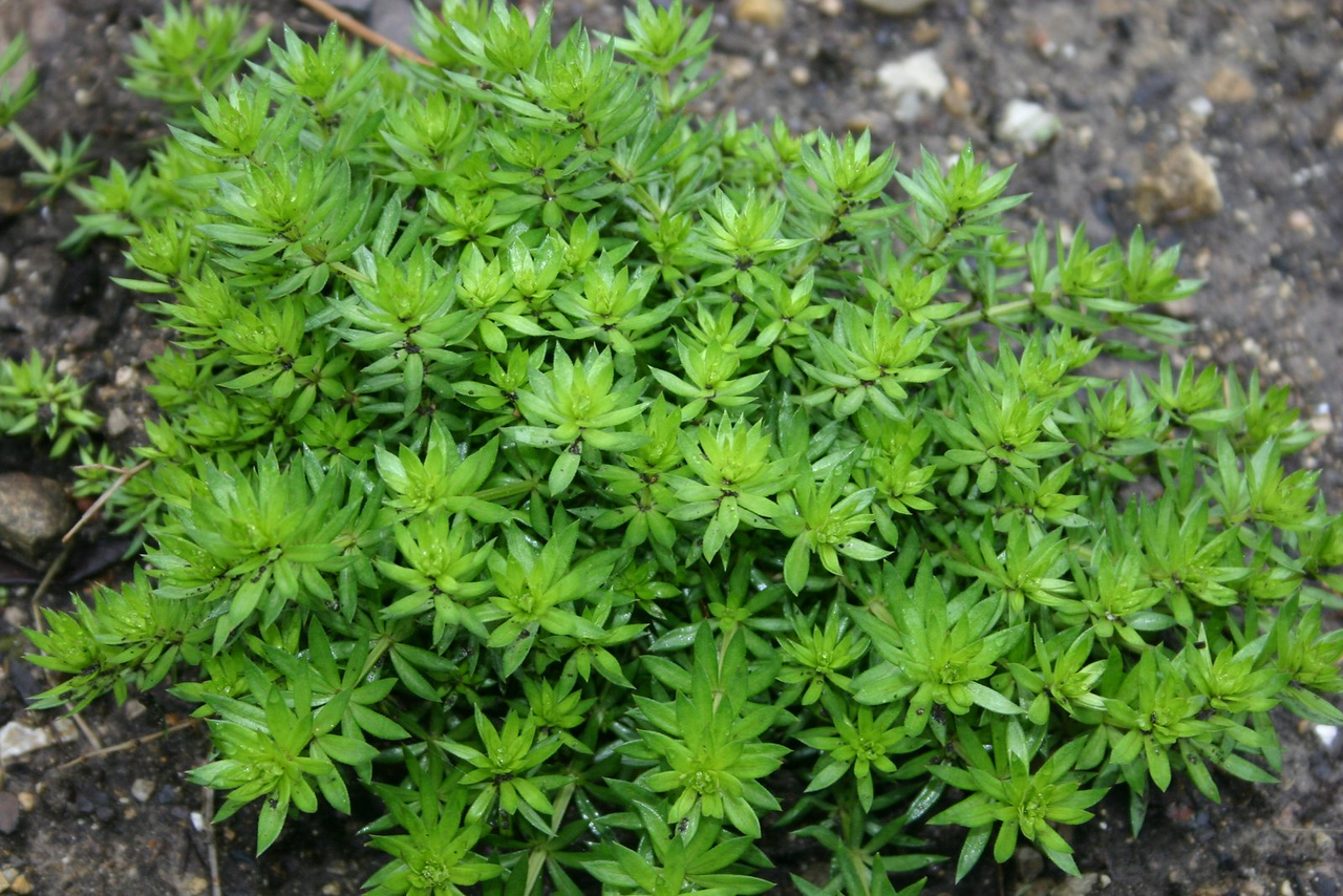 Phuopsis stylosa, Crosswort