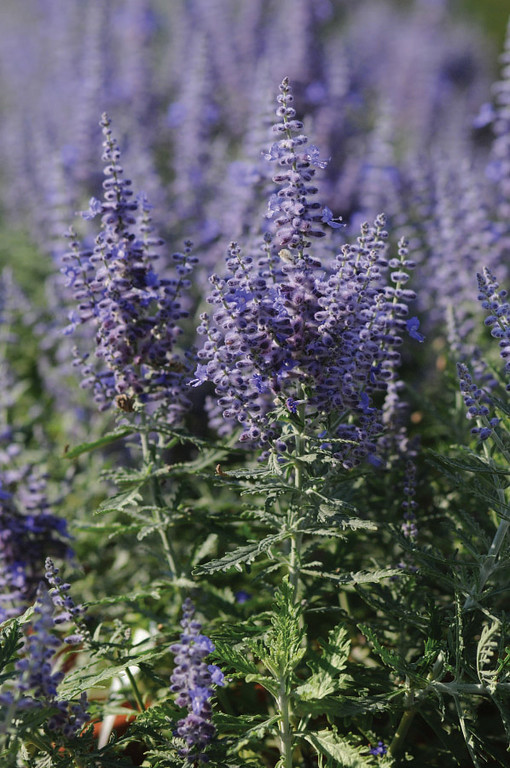 Perovskia Lacey Blue Russian Sage 2